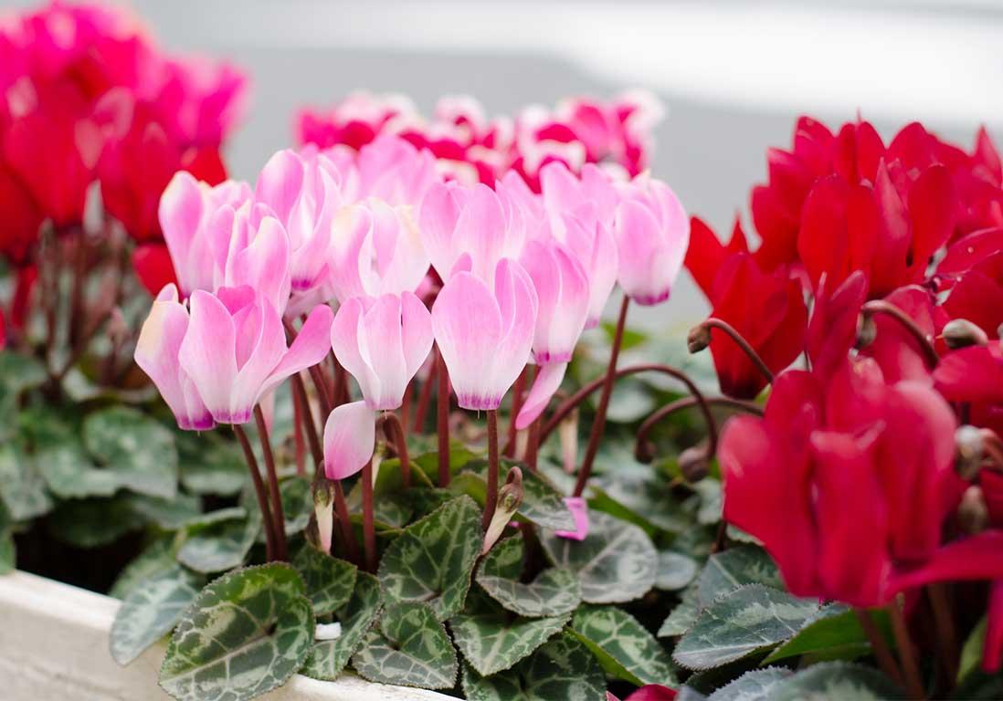 Cyclamen : fleurir dedans-dehors de l'automne au printemps