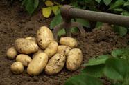 x-pommes-de-terre-c2025.jpg