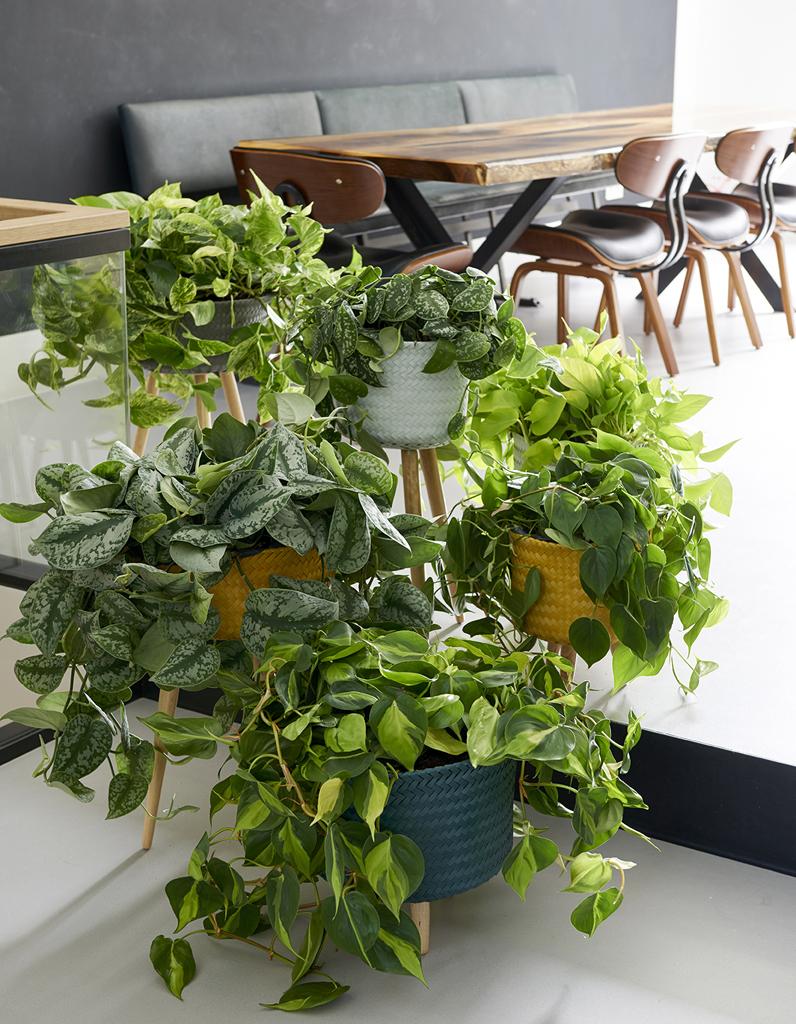 Zoom sur une plante r solument purifiante le scindapsus for Arrosage plante interieur