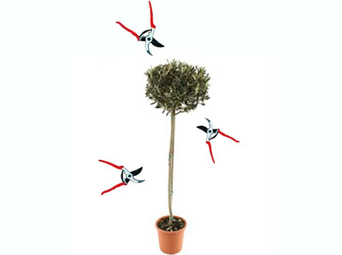 Tailler un olivier elle d coration for Tailler un olivier en nuage