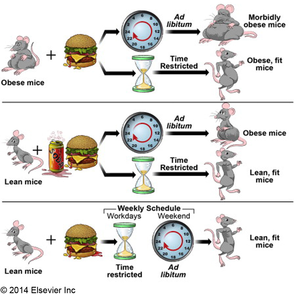 time restricted feeding C 2014 Elsevier Inc.jpg