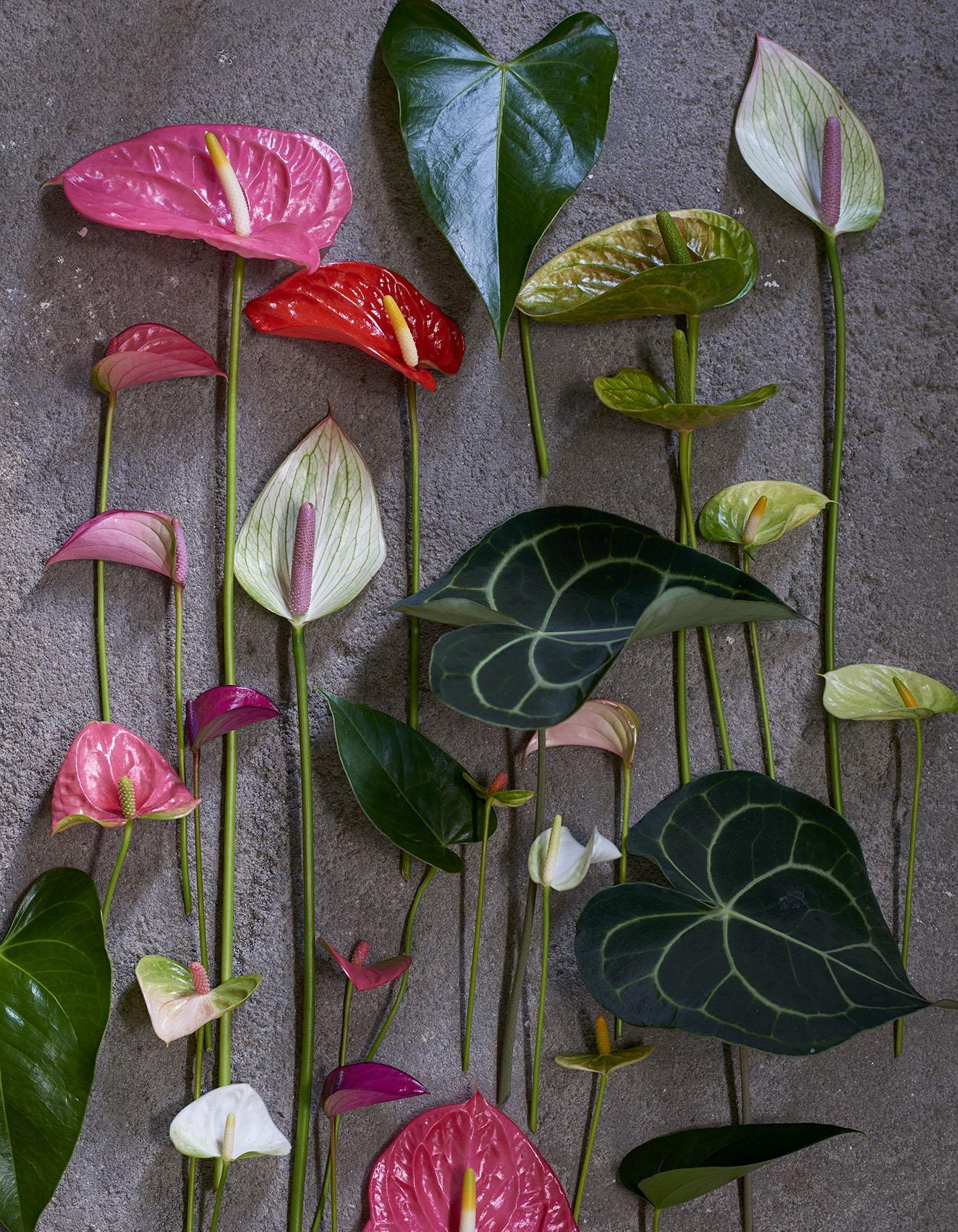 comment arroser un anthurium - 28 images - l arrosage des plantes d