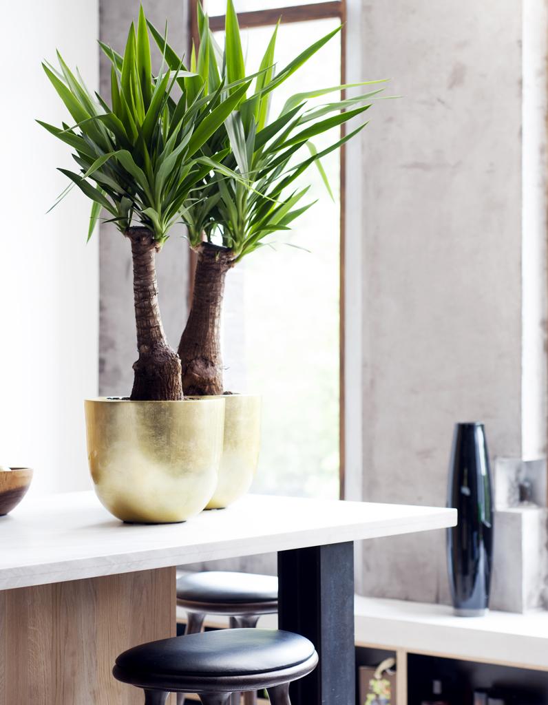 comment entretenir un yucca elle d coration. Black Bedroom Furniture Sets. Home Design Ideas